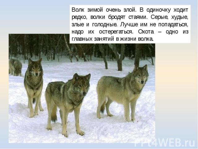 Волк зимой очень злой. В одиночку ходит редко, волки бродят стаями. Серые, худые, злые и голодные. Лучше им не попадаться, надо их остерегаться. Охота – одно из главных занятий в жизни волка.