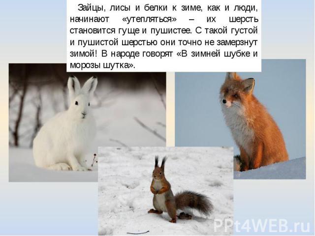 Зайцы, лисы и белки к зиме, как и люди, начинают «утепляться» – их шерсть становится гуще и пушистее. С такой густой и пушистой шерстью они точно не замерзнут зимой! В народе говорят «В зимней шубке и морозы шутка».