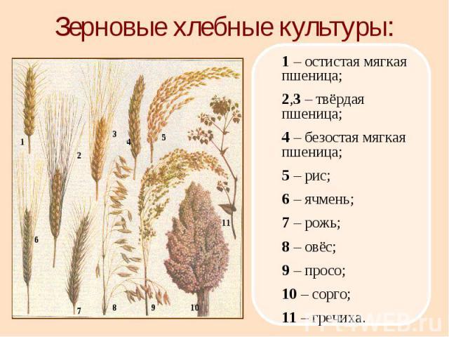 1 – остистая мягкая пшеница; 2,3 – твёрдая пшеница; 4 – безостая мягкая пшеница; 5 – рис; 6 – ячмень; 7 – рожь; 8 – овёс; 9 – просо; 10 – сорго; 11 – гречиха. 1 2 3 5 4 6 7 8 9 10 11 Зерновые хлебные культуры: