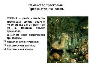 Семейство тресковые. Треска атлантическая.ТРЕСКА – рыба семейства тресковых. Дли