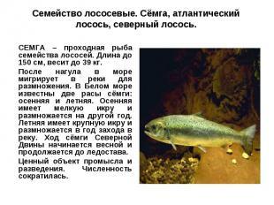 Семейство лососевые. Сёмга, атлантический лосось, северный лосось.СЕМГА – проход