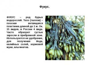 Фукус.ФУКУС – род бурых водорослей. Тело (таллом) – плоская ветвящаяся пластинка