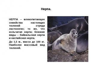 Нерпа. НЕРПА – млекопитающее семейства настоящих тюленей отряда ластоногих; то ж