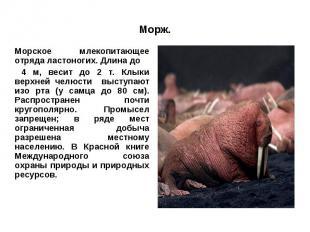 Морж.Морское млекопитающее отряда ластоногих. Длина до 4 м, весит до 2 т. Клыки