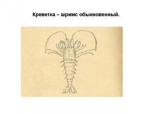 Креветка – шримс обыкновенный.