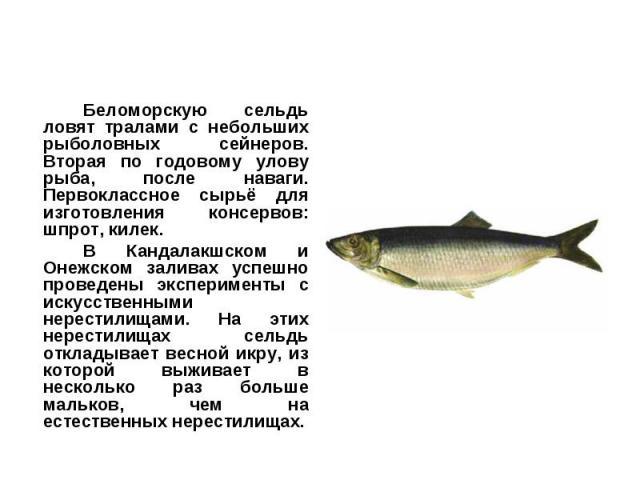 Беломорскую сельдь ловят тралами с небольших рыболовных сейнеров. Вторая по годовому улову рыба, после наваги. Первоклассное сырьё для изготовления консервов: шпрот, килек.Беломорскую сельдь ловят тралами с небольших рыболовных сейнеров. Вторая по г…
