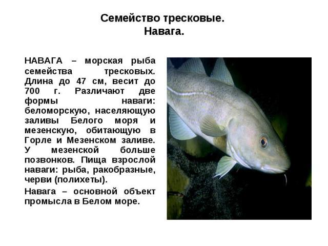 Семейство тресковые. Навага.НАВАГА – морская рыба семейства тресковых. Длина до 47 см, весит до 700 г. Различают две формы наваги: беломорскую, населяющую заливы Белого моря и мезенскую, обитающую в Горле и Мезенском заливе. У мезенской больше позво…