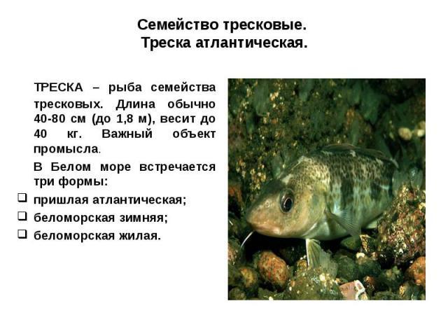 Семейство тресковые. Треска атлантическая.ТРЕСКА – рыба семейства тресковых. Длина обычно 40-80 см (до 1,8 м), весит до 40 кг. Важный объект промысла.В Белом море встречается три формы: пришлая атлантическая; беломорская зимняя; беломорская жилая.
