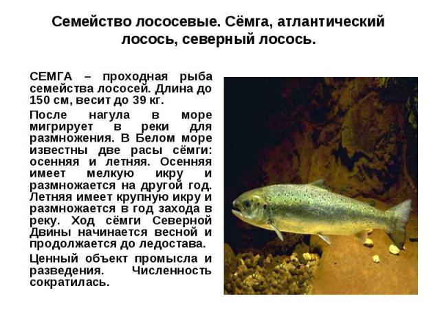 Семейство лососевые. Сёмга, атлантический лосось, северный лосось.СЕМГА – проходная рыба семейства лососей. Длина до 150 см, весит до 39 кг. После нагула в море мигрирует в реки для размножения. В Белом море известны две расы сёмги: осенняя и летняя…