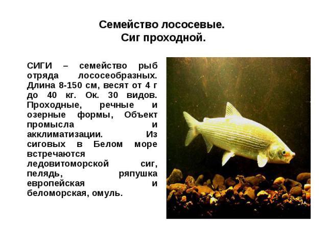 Семейство лососевые. Сиг проходной.СИГИ – семейство рыб отряда лососеобразных. Длина 8-150 см, весят от 4 г до 40 кг. Ок. 30 видов. Проходные, речные и озерные формы, Объект промысла и акклиматизации. Из сиговых в Белом море встречаются ледовитоморс…