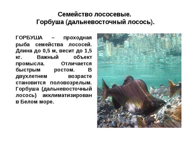 Семейство лососевые. Горбуша (дальневосточный лосось).ГОРБУША – проходная рыба семейства лососей. Длина до 0,5 м, весит до 1,5 кг. Важный объект промысла. Отличается быстрым ростом. В двухлетнем возрасте становится половозрелым. Горбуша (дальневосто…