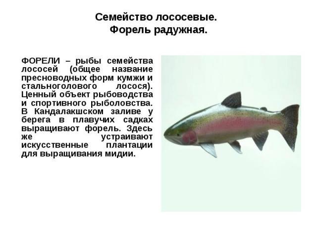 Семейство лососевые. Форель радужная.ФОРЕЛИ – рыбы семейства лососей (общее название пресноводных форм кумжи и стальноголового лосося). Ценный объект рыбоводства и спортивного рыболовства. В Кандалакшском заливе у берега в плавучих садках выращивают…