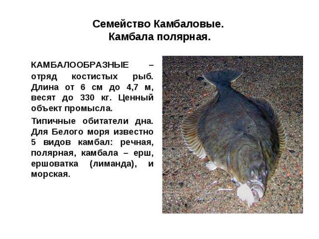 Семейство Камбаловые. Камбала полярная.КАМБАЛООБРАЗНЫЕ – отряд костистых рыб. Длина от 6 см до 4,7 м, весят до 330 кг. Ценный объект промысла.Типичные обитатели дна. Для Белого моря известно 5 видов камбал: речная, полярная, камбала – ерш, ершоватка…
