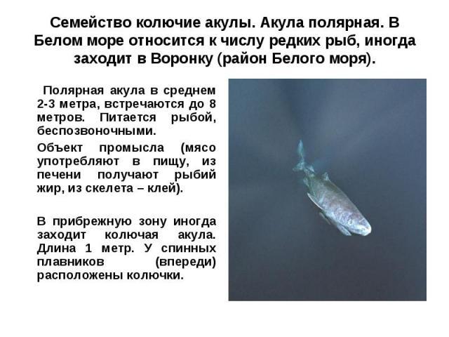 Семейство колючие акулы. Акула полярная. В Белом море относится к числу редких рыб, иногда заходит в Воронку (район Белого моря). Полярная акула в среднем 2-3 метра, встречаются до 8 метров. Питается рыбой, беспозвоночными.Объект промысла (мясо упот…