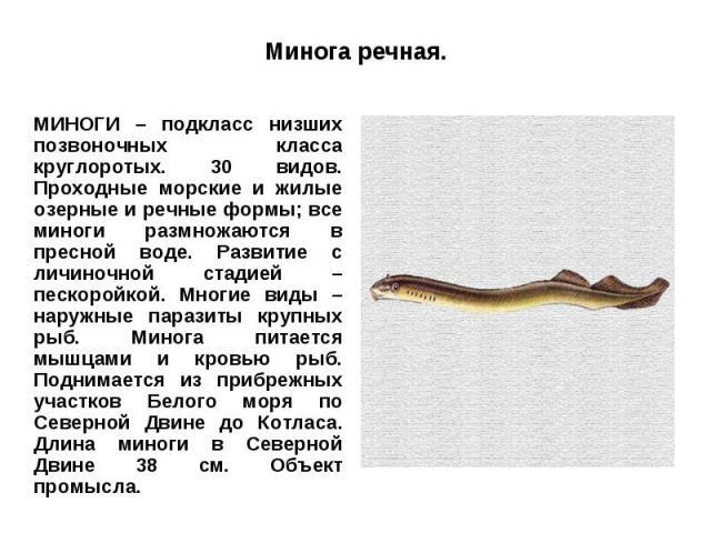 Минога речная.МИНОГИ – подкласс низших позвоночных класса круглоротых. 30 видов. Проходные морские и жилые озерные и речные формы; все миноги размножаются в пресной воде. Развитие с личиночной стадией – пескоройкой. Многие виды – наружные паразиты к…