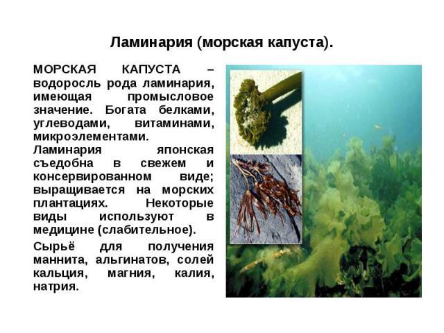 Ламинария (морская капуста).МОРСКАЯ КАПУСТА – водоросль рода ламинария, имеющая промысловое значение. Богата белками, углеводами, витаминами, микроэлементами. Ламинария японская съедобна в свежем и консервированном виде; выращивается на морских план…