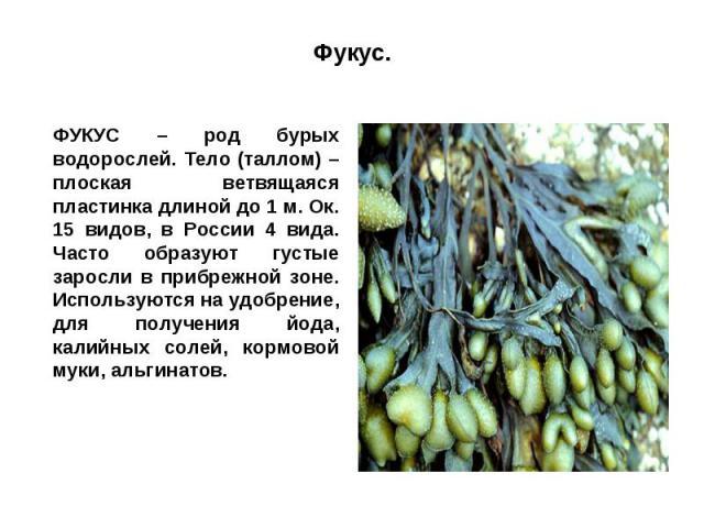 Фукус.ФУКУС – род бурых водорослей. Тело (таллом) – плоская ветвящаяся пластинка длиной до 1 м. Ок. 15 видов, в России 4 вида. Часто образуют густые заросли в прибрежной зоне. Используются на удобрение, для получения йода, калийных солей, кормовой м…