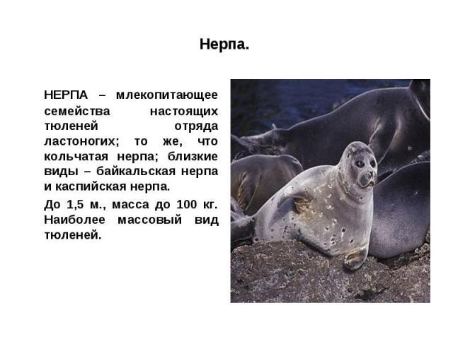 Нерпа. НЕРПА – млекопитающее семейства настоящих тюленей отряда ластоногих; то же, что кольчатая нерпа; близкие виды – байкальская нерпа и каспийская нерпа.До 1,5 м., масса до 100 кг. Наиболее массовый вид тюленей.
