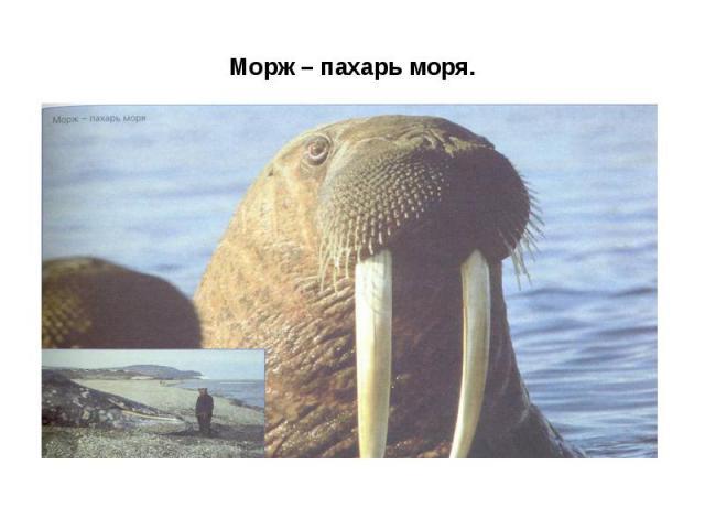 Морж – пахарь моря.