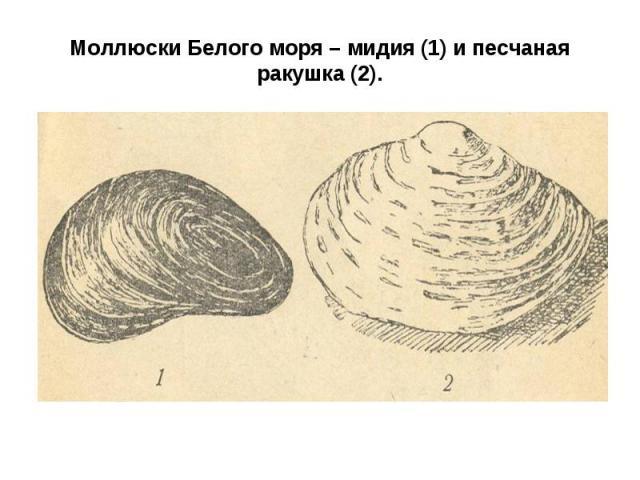 Моллюски Белого моря – мидия (1) и песчаная ракушка (2).