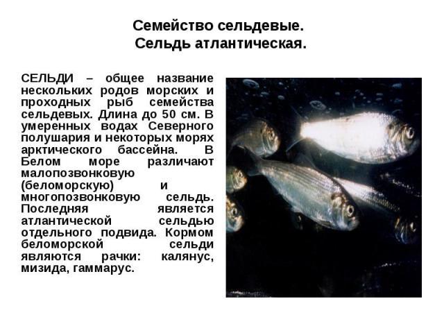 Семейство сельдевые. Сельдь атлантическая.СЕЛЬДИ – общее название нескольких родов морских и проходных рыб семейства сельдевых. Длина до 50 см. В умеренных водах Северного полушария и некоторых морях арктического бассейна. В Белом море различают мал…