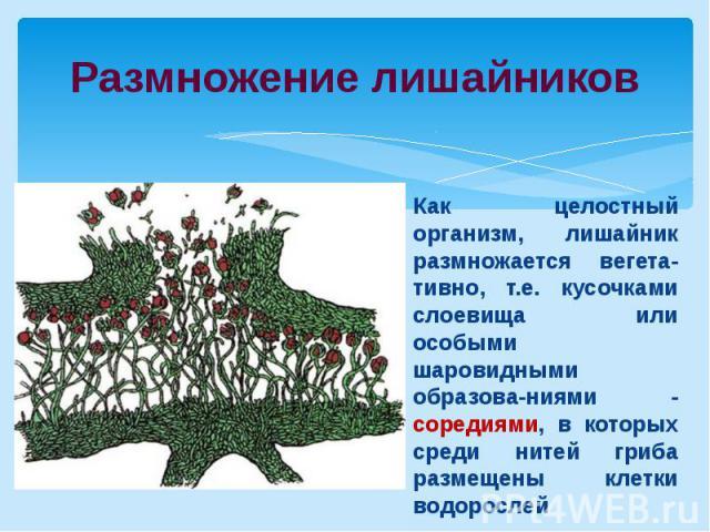 Размножение лишайниковКак целостный организм, лишайник размножается вегета-тивно, т.е. кусочками слоевища или особыми шаровидными образова-ниями - соредиями, в которых среди нитей гриба размещены клетки водорослей