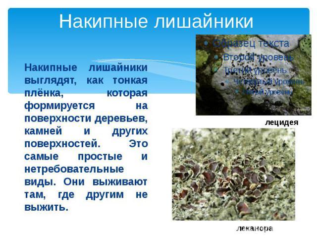 Накипные лишайникиНакипные лишайники выглядят, как тонкая плёнка, которая формируется на поверхности деревьев, камней и других поверхностей. Это самые простые и нетребовательные виды. Они выживают там, где другим не выжить.