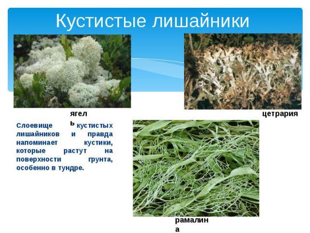 Кустистые лишайникиСлоевище кустистых лишайников и правда напоминает кустики, которые растут на поверхности грунта, особенно в тундре.