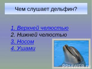 Чем слушает дельфин?1. Верхней челюстью2. Нижней челюстью3. Носом4. Ушами