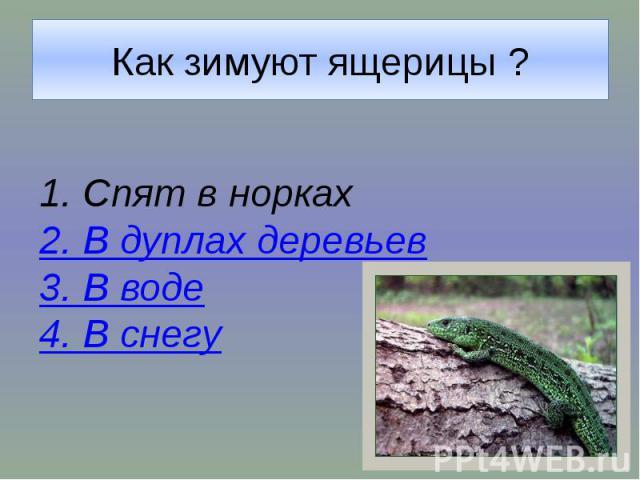 Как зимуют ящерицы ?1. Спят в норках2. В дуплах деревьев3. В воде4. В снегу