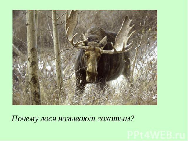 Почему лося называют сохатым?