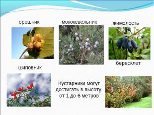 Кустарники могут достигать в высоту от 1 до 6 метров