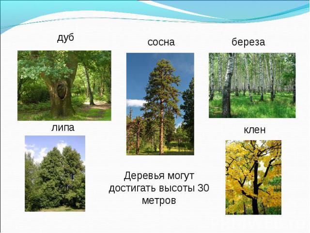 Деревья могут достигать высоты 30 метров