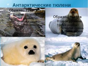 Антарктические тюлени