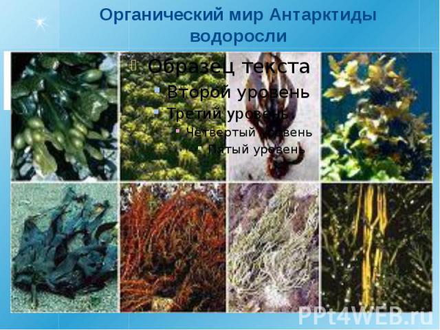 Органический мир Антарктидыводоросли
