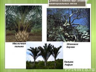 Средний и нижний ярус влажных экваториальных лесов