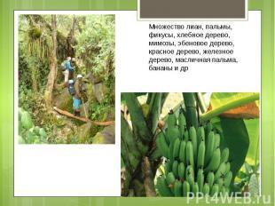 Множество лиан, пальмы, фикусы, хлебное дерево, мимозы, эбеновое дерево, красное