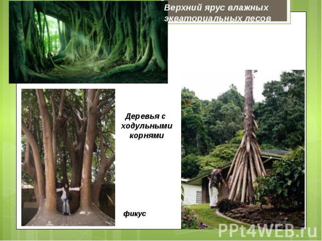 Верхний ярус влажных экваториальных лесовДеревья с ходульными корнями