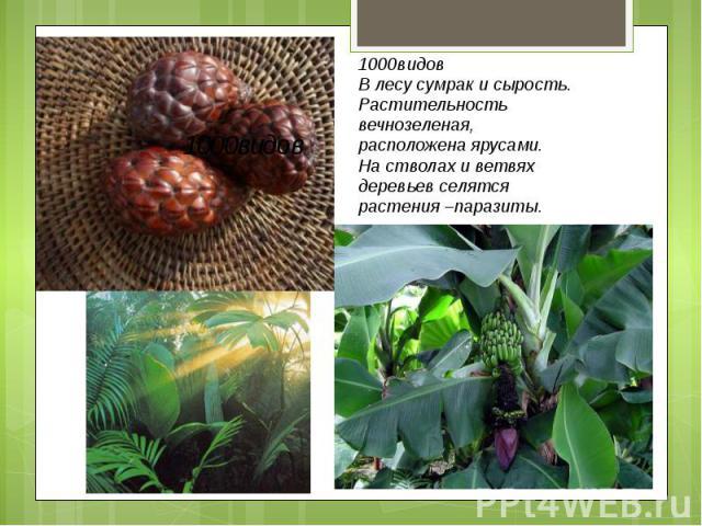 1000видов В лесу сумрак и сырость.Растительностьвечнозеленая,расположена ярусами.На стволах и ветвяхдеревьев селятсярастения –паразиты.