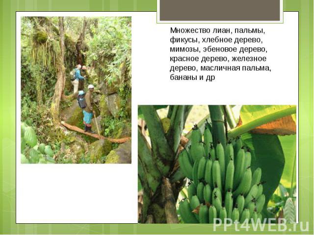 Множество лиан, пальмы, фикусы, хлебное дерево, мимозы, эбеновое дерево, красное дерево, железное дерево, масличная пальма, бананы и др