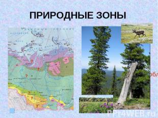 ПРИРОДНЫЕ ЗОНЫ III место по запасам древесины (ель, кедр, пихта)Лесные ресурсы с
