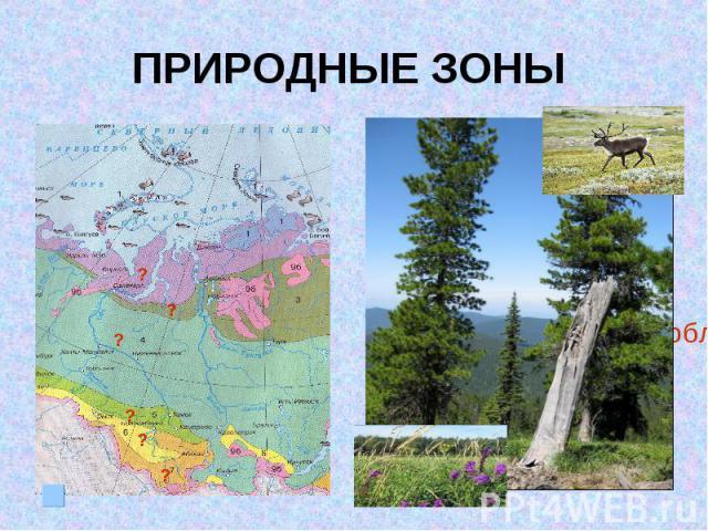 ПРИРОДНЫЕ ЗОНЫ III место по запасам древесины (ель, кедр, пихта)Лесные ресурсы сосредоточены в Томской, Тюменской областях, Республике Алтай
