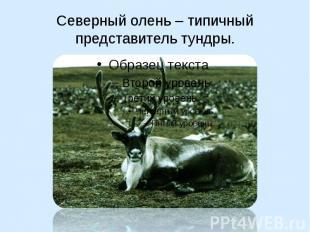 Северный олень – типичный представитель тундры.