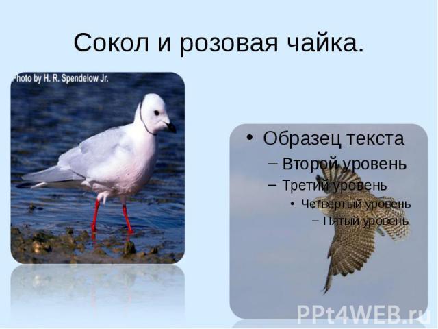 Сокол и розовая чайка.