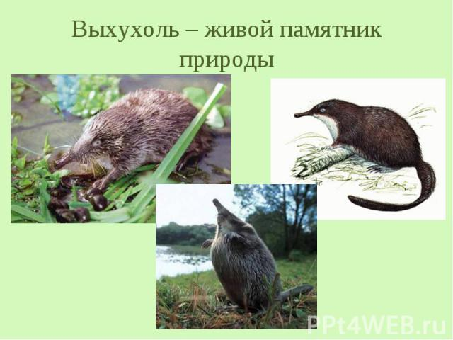 Выхухоль – живой памятник природы