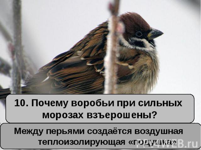 10. Почему воробьи при сильных морозах взъерошены?Между перьями создаётся воздушная теплоизолирующая «подушка»