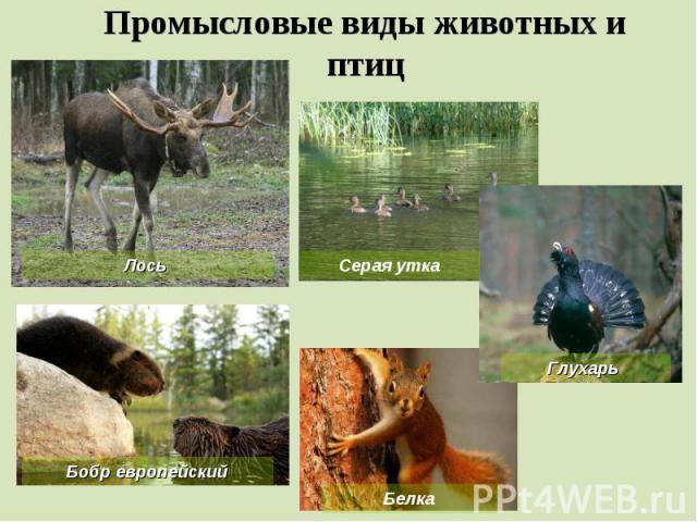 Промысловые виды животных и птиц