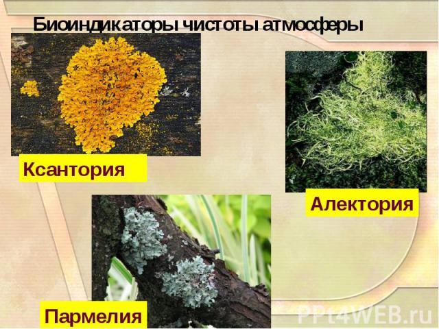 Биоиндикаторы чистоты атмосферы