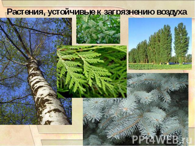Растения, устойчивые к загрязнению воздуха