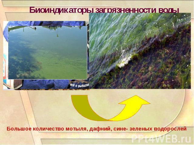 Биоиндикаторы загрязненности водыБольшое количество мотыля, дафний, сине- зеленых водорослей